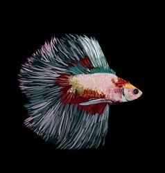 Betta splendens siamese fighting fish on black vector