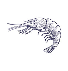 Drawing shrimp vector