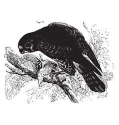 Lesser kestrel vintage vector