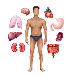 Man with internal organs vector