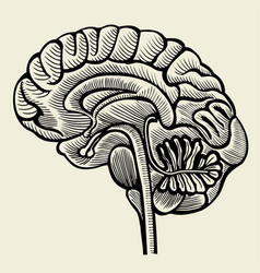 Human brain - vintage engraved vector