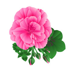 pelargonium geranium summer pink flower vector image