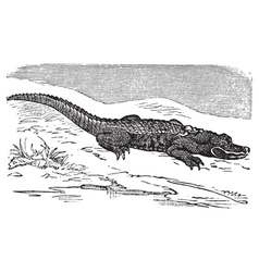 American Alligator engraving or Alligator vector image