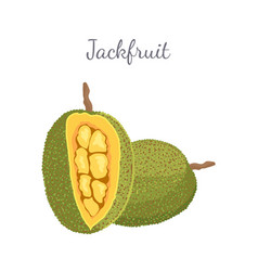 Jackfruit exotic juicy stone fruit isolated vector
