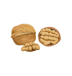 Whole half and peeled piece of walnut cartoon vector