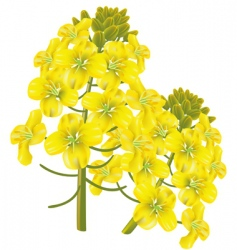 Rape flower brassica napu vector