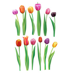 realistic multicolor tulips set vector image
