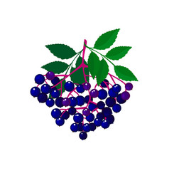 cartoon fresh elderberries isolated on white bg vector image