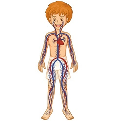 Circulatory system in human boy vector