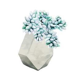 webbluish sedum succulent plant in geometric pot vector image