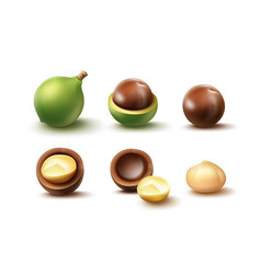Set of macadamia nuts vector