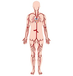 Blood vessels in human body vector