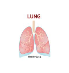 Human lungs isolated on white background vector