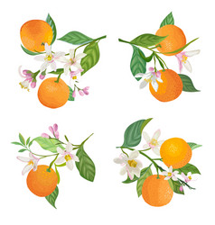 watercolor oranges hanging on branch with leaves vector image