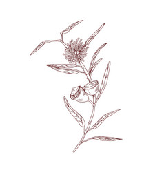 Outlined drawing blooming eucalyptus flower vector