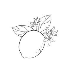 drawing lemon vector image