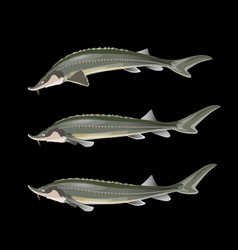 sturgeon fish set vector image