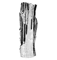 Apple tree borer vintage vector