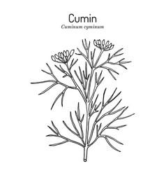 aromatic plant cumin cuminum cyminum vector image