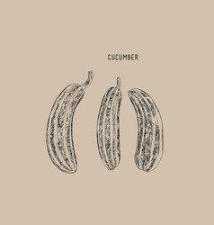 cucumber sketch vector image vector image