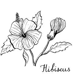 hibiscus flower botany vector image