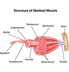 Cartoon of Structure Skeletal Muscle Anatomy vector image