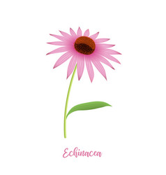 Echinacea flower head steam leaves and petals vector