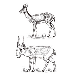African wild antelope deer or doe saiga and dik vector