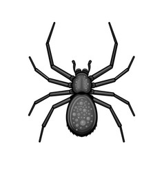 Spider black arachnid on white background vector