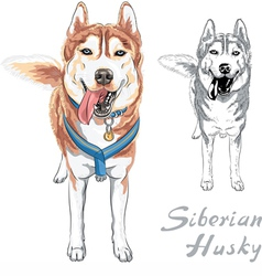 dog Siberian Husky breed standng and smiling vector image