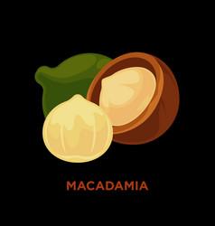 macadamia nut isolated on white vector image