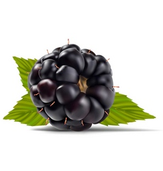 Dewberries blackberries vector