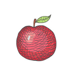 Hand drawn engraved apple on white vector