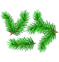 spruce branch vector image