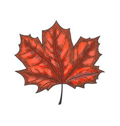 hand drawn maple leaf vintage engrave sketch vector image