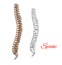 sketch icon of human spine bones or joints vector image vector image
