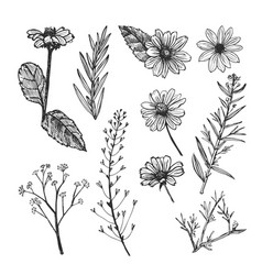 Helianthus and herb plants hand drawn sketch vector