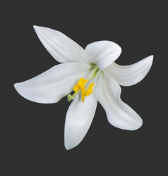 realistic white lily on a dark background vector image