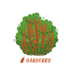 barberry garden berry bush with name vector image
