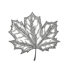 Hand drawn maple leaf vintage engrave sketch vector