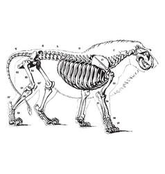 Lion skeleton vintage vector