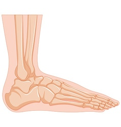 Inside of human foot bone vector image