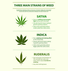 Three main strains weed vertical infographic vector