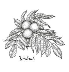ink sketch of walnut branch vector image