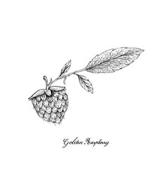 berry fruits of hand drawn sketch delicious vector image