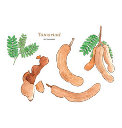 tamarind water color hand draw sketch vector image