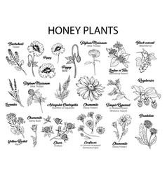 honey plants black ink sketches set vector image