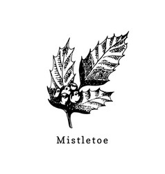 mistletoe branch hand drawn on white vector image