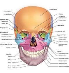 Skull anterior vector image