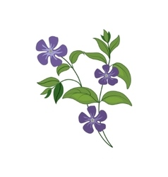 Periwinkle Wild Flower Hand Drawn Detailed vector image vector image